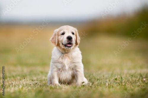 Golden retriever puppy on a sunny day Canvas Print
