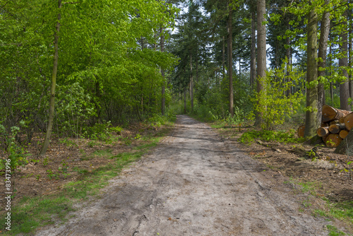 Foto op Canvas Weg in bos Footpath through a sunny pine forest in spring