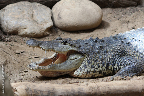 Foto op Plexiglas Krokodil Crocodile, Alligator