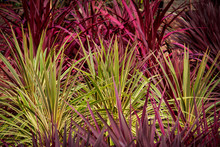 Red Green Cordyline Grass Plan...
