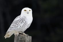 A Snowy Owl (Bubo Scandiacus) ...