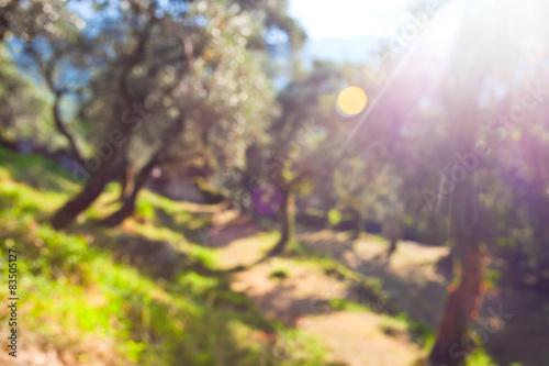 Fotografia Defocused background of olive grove