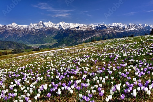 Printed kitchen splashbacks Crocuses Krokuswiese bei Interlaken mit verschneiten Berner Alpen