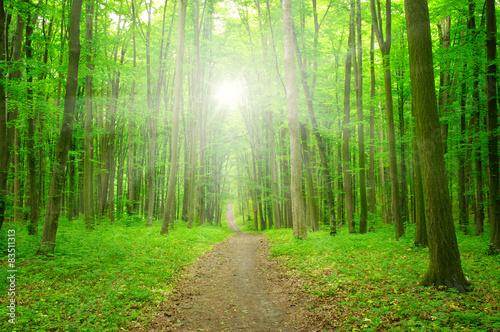 sunlight forest #83511313