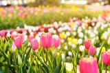 Pole tulipanów przy zachodzie słońca
