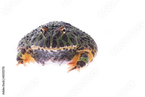 Fotografie, Obraz  Obrovská zelená žába pacman vidět v přední izolovaných na bílém pozadí