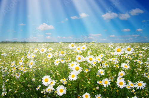 Photo Stands Landscapes daisy flowers