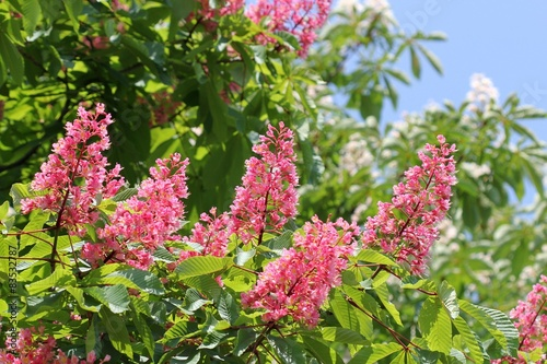 Цветущий розовый каштан (Aesculus carnea)
