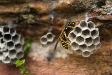 Close Up Of Paper Wasp On Nest