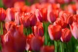 Ogród z czerwonymi tulipanami