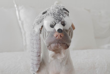 Portrait Of Shar-pei Dog With ...