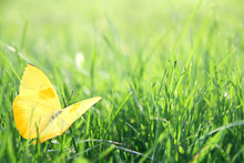 Yellow Butterfly In Green Gras...