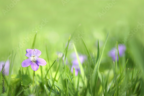 Small Wild Violet Flower in Green Grass Background Poster