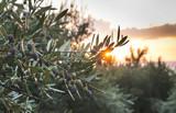 Olive trees on sunset