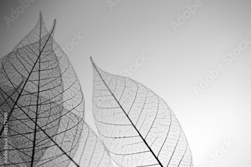 Autocollant pour porte Squelette décoratif de lame Skeleton leaves on grey background, close up