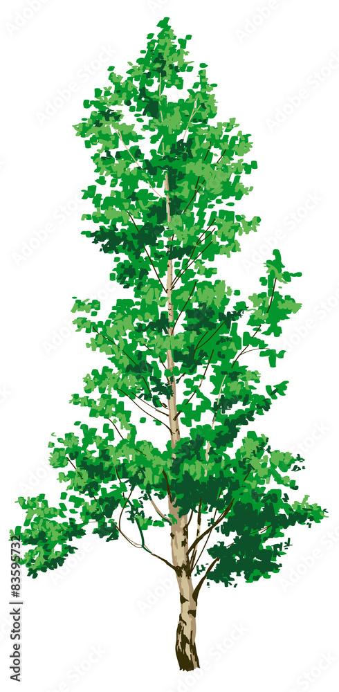 birch tree on white background