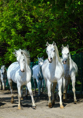 Obraz na płótnie Canvas White horses galloping on the village road