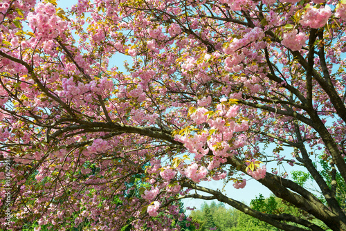 Foto op Plexiglas Magnolia cherry flower, blossom at spring