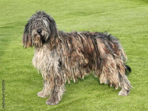 Photo The portrait of Bergamasco Shepherd dog