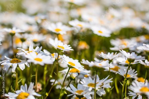 Fotografie, Obraz  ノースポールの花畑。