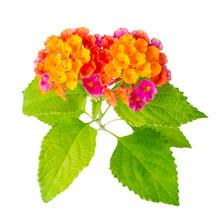 Beautiful Colorful Lantana Camara Flower Is Isolated On White Ba