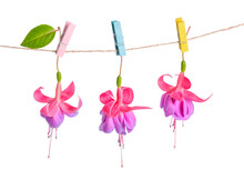 Fuchsia Flowers Handing On Rope With Colorful Clothespin Is Isol