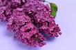 Macro image of spring lilac violet flowers