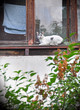cat lying on the window sill and looking down of the window