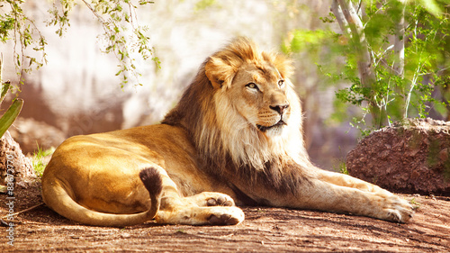 In de dag Leeuw African Lion Laying in Forest