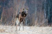 The Elk. Back Side