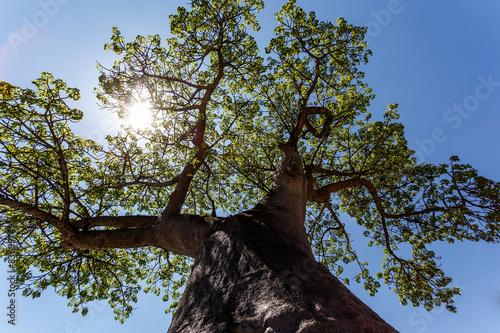 Keuken foto achterwand Baobab majestic baobab tree