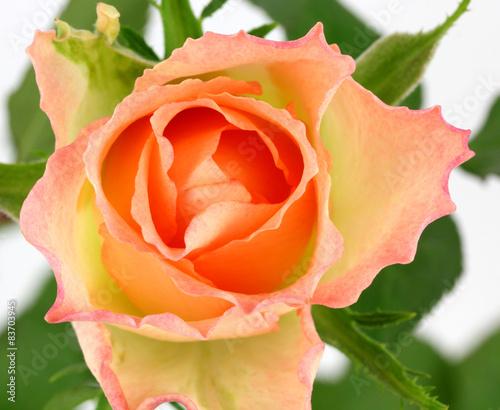 rozowa-roza-na-bialym-tle
