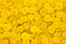 Beautiful Background From Yellow Flowers