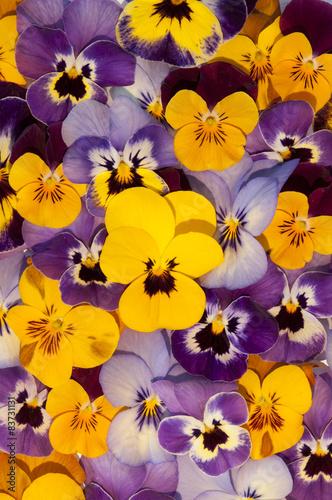 Papiers peints Pansies mixed colors of pansies in garden