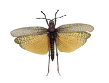 Flying Grasshopper With Yellow Wings