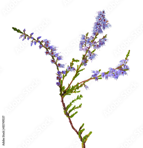 isolated blue color heather branch