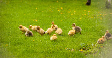 Yellow Chicks Ducklings Are On The Green Grass
