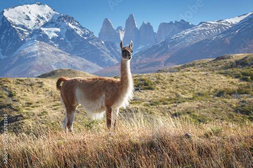 Valokuva  Guanaco in National Park Torres del Paine, Patagonia, Chile