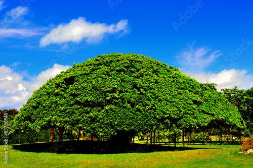 Big banyan tree in Okinawa Canvas Print