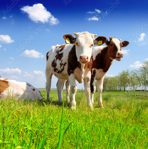 Obraz The calf on a summer pasture - fototapety do salonu