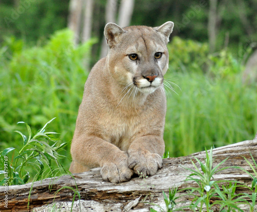 In de dag Puma Watchful Mountain Lion stands on a fallen log.