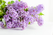 Purple spring lilac flowers blooming. On white