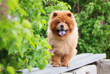 Red Chow Chow Dog Standing On ...
