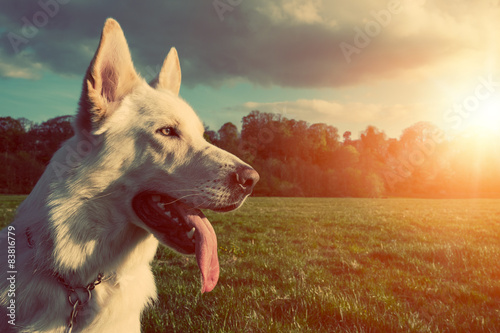 Photo  Gorgeous large white dog in a park, colorised image