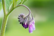 Blossom Of Comfrey Common Comfrey, Symphytum Officinale,close Up