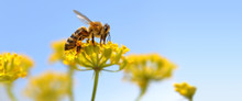 Honeybee Harvesting Pollen Fro...