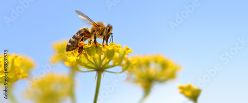 Spoed Foto op Canvas Bee Honeybee harvesting pollen from blooming flowers.