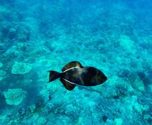 Black Triggerfish On Coral Ree...