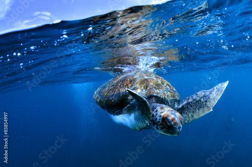 Tortuga marina descendiendo Fototapeta