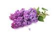 Spring flower, twig purple lilac. Syringa vulgaris on white back
